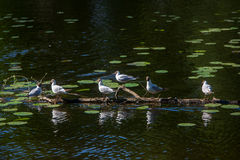 Six white seagulls sitting royalty free stock image
