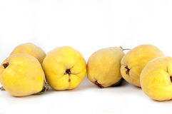 Six woolly, yellow quinces in a row. on white. Six, freshly picked in autumn, woolly, yellow quinces in a row. on white Royalty Free Stock Photography