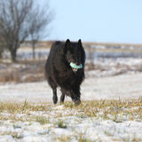 Six years Groenendael running with toy in winter Stock Photography