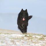 Six years Groenendael running in winter Royalty Free Stock Image