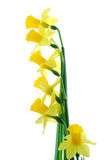 Six Yellow Daffodil Flowers  Royalty Free Stock Photography