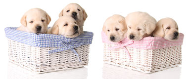 Six yellow lab puppies stock images