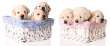 Six yellow lab puppies. Three boys and three girls stock images