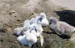 Six young swans resting on concrete slab Royalty Free Stock Photos