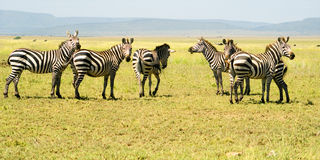 Six Zebras. On the Plains of the Serengeti National Park, Tanzania, Africa stock photos