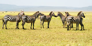 Six Zebras. On the Plains of the Serengeti National Park, Tanzania, Africa Stock Images