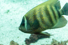 Sixbanded angelfish Pomacanthus sexstriatus. Swims over a coral reef royalty free stock images