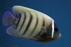 Sixbar angelfish stock photo