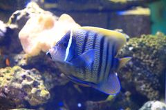 Sixbar angelfish Stock Image