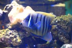 Sixbar angelfish Stock Image