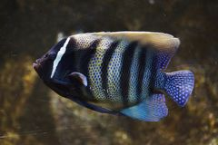 Sixbar angelfish Pomacanthus sexstriatus. Also known as the six banded angelfish royalty free stock image