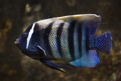 Sixbar angelfish Pomacanthus sexstriatus. Also known as the six banded angelfish stock photo