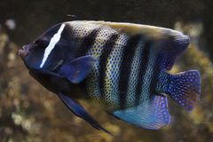 Sixbar angelfish Pomacanthus sexstriatus. Also known as the six banded angelfish royalty free stock photo