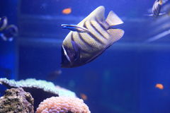 Sixbar angelfish Stock Photos