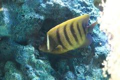 Sixbar angelfish Royalty Free Stock Photos