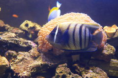Sixbar angelfish Stock Photography