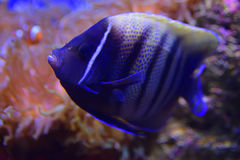 Sixbar or six banded Angelfish making a turn with bright orange Clownfish and sea anemone coral in the background Stock Photo