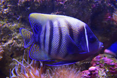 Sixbar or six banded Angelfish with sea anemone coral Stock Photography