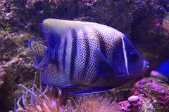 Sixbar of zes gestreepte Zeeëngel met zeeanemoonkoraal in violette tint stock foto's