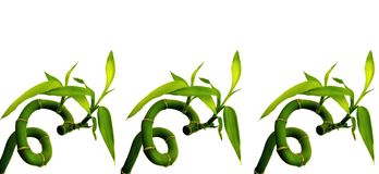 Sixes in Lucky Bamboo. Shoots devils number Stock Photography