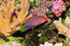 Sixline or Sixstripe Wrasse Royalty Free Stock Images