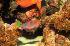 Sixline or Sixstripe Wrasse Stock Images
