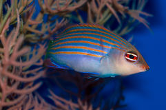 Sixline Wrasse. Also known as the Sixline or Sixstripe Wrasse, Pseudocheilinus hexataenia is native to reefs of the Indo-Pacific and the coast of Fiji stock photo