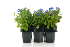 Sixpack blue Lobelia Royalty Free Stock Images