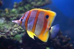 sixspine рыб бабочки тропическое Стоковые Фотографии RF