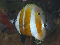 Sixspine butterflyfish Royalty Free Stock Photos