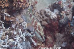 Sixspot Grouper in Red Sea. Sixspot Grouper on Coral Reef in Red Sea off Eilat, Israel royalty free stock image