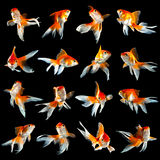 Sixteen goldfishs Royalty Free Stock Images