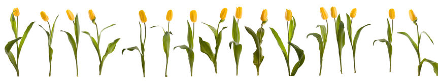 Sixteen yellow tulips. On white royalty free stock image