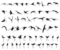 Sixty Black-winged Stilts Royalty Free Stock Images