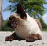 Siyam-Katze (eine siamesische Katze z.Z. spielend) Stockfotos