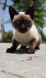 Siyam-Katze (eine siamesische Katze z.Z. spielend) Stockfoto