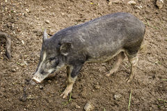 Sizable muddy dirty wild boar in the autumn forest with fallen l. Eaf litter on the edge of the wallow Stock Image
