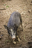 Sizable muddy dirty wild boar in the autumn forest with fallen l Stock Photos