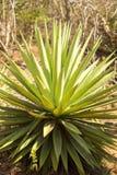 Sizal roślina używać dla dziewiarskich arkan, Madagascar Zdjęcia Stock