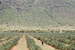 Sizalu włókna plantacja - Tanzania Obrazy Royalty Free