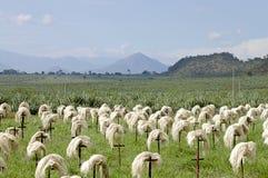 Sizalu włókno - Tanzania Zdjęcia Stock