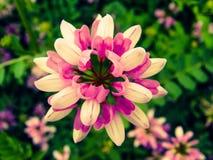 Själfulla rosa färger Royaltyfria Bilder