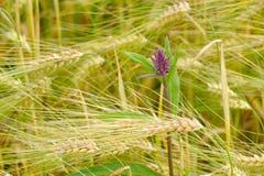 Själv-läka på kornfält Royaltyfri Foto