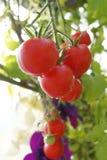 Självodlade tomater i växthus arkivbilder