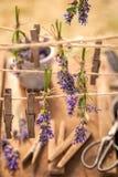 Självodlat och ny lavendel som är klar att torka i bygd royaltyfria bilder