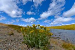Självständighetpasserande Colorado för lösa blommor royaltyfri fotografi