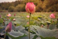 Sjö av lotusblommor i den Far East taigaen/rosa färgblommor med stora gräsplansidor/, arkivfoton