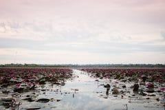 Sjö av röd lotusblomma på Udonthani Thailand (som är osedd i Thailand) royaltyfri foto