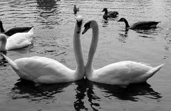Sjö djur, svanar, fågel, natur fotografering för bildbyråer