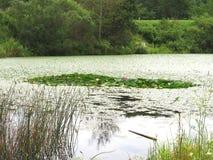 Sjö i träna med vit och rosa blommande lotusblomma som svävar i gröna sidor royaltyfri bild
